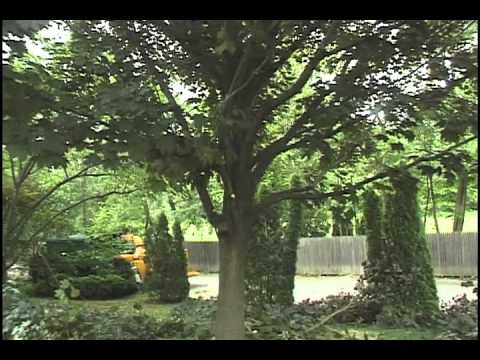 tree pruning, Radnor PA. 19087 Murphy's Tree Service pruning crimson maple .mov