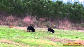 Hunting Wild Hogs  -  East Texas