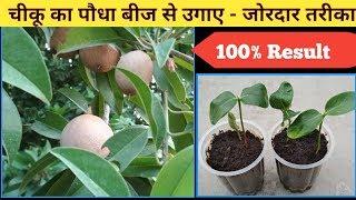 चीकू का पौधा बीज से उगाए - जाने कैसे। Grow chiku plant from seeds.