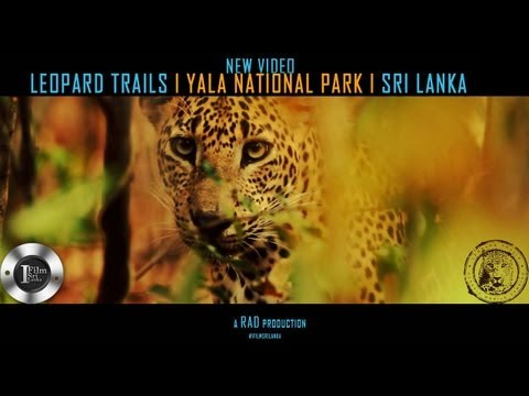 LEOPARD TRAILS Yala National Park on IFILM SRILANKA!