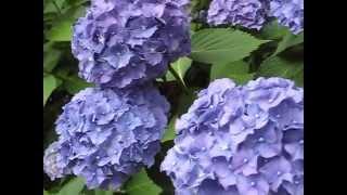 Hydrangea Macrophylla Koningin Wilhelmina