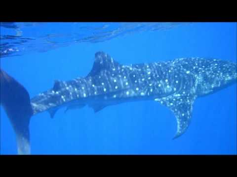 Utila Whale Shark.wmv