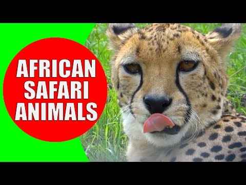 African Safari Animals for Kids - Children Learn African Animals and African Wildlife Sounds