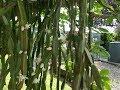 My Rhipsalis Paradoxa Epiphytic Cactus Plant In Beautiful Flower Life Update mp3