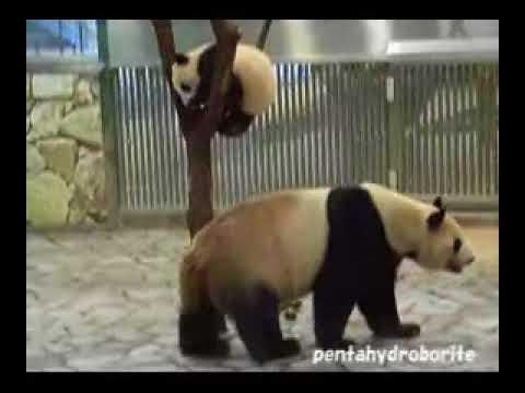 PANDA Baby playing with Mam, Run & Fall, Aihin 愛浜 双子パンダ