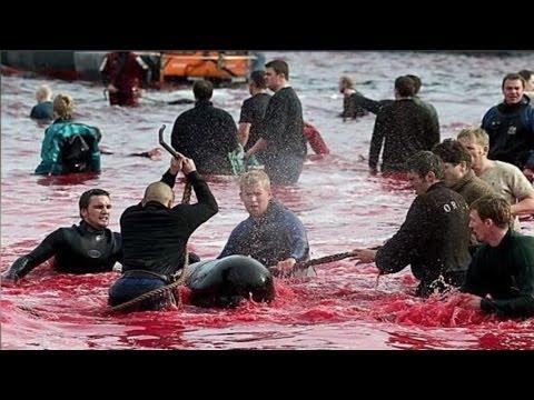 En Dinamarca matan decenas de delfines por una tradición -- Exclusivo Online