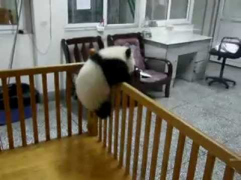 Escaping Baby Pandas