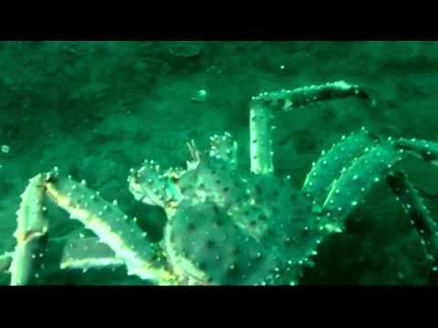 Промысел. Переселение краба в Баренцево море.