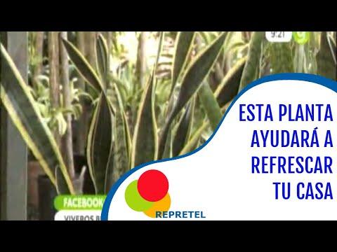Planta lengua de suegra para refrescar su casa youtube for Arboles y plantas para jardin
