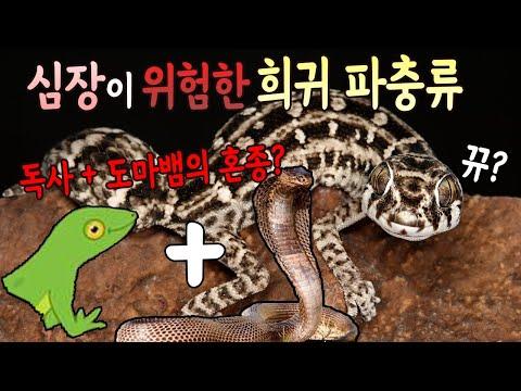한국에서는 절대 볼수없었던 독사+도마뱀의 혼종? 심장이 위험한 희귀파충류