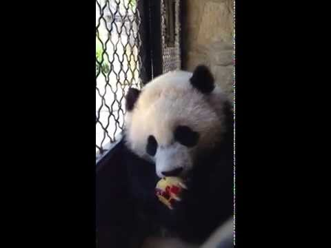 Bao Bao and Mei Xiang Enjoy a Fruitsicle on a Summer Day