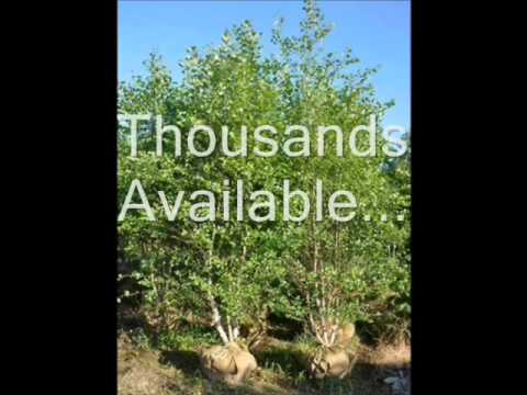 River Birch Trees We Grow