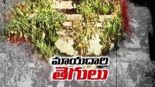 9వేల ఎకరాలకు తెగులు.. | Sakshi Ground Report - Watch Exclusive
