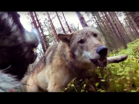 wolf attacks hunting dog, filmed with a gopro attached to the dog