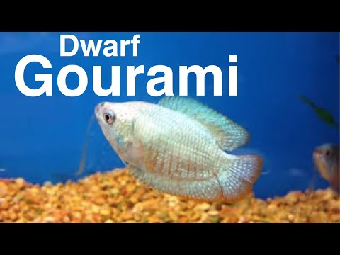 Dwarf gourami for Easy to take care of fish