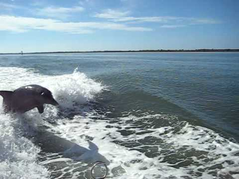 Wake Surfing Dolphins in Pine Island Sound Florida