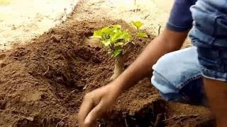 Hunting of Bougainvillea and  plantation successful growth,care,tips and simple method  ,hindi/urdu