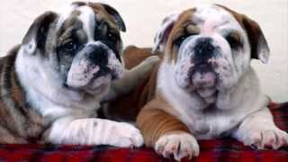 Pet-View: BullDog - HD SlideShow / Foot-Tappers