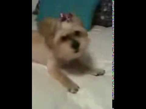Cute Yorkie Maltese Puppy Doesn't Like Haircuts