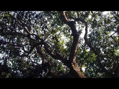 Cairns Bat Tree