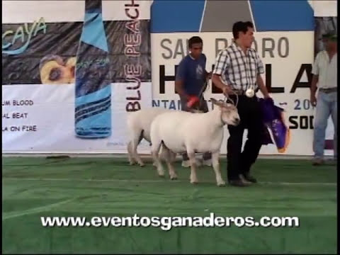 BORREGOS CHAROLAIS Califiacion en Cholula Puebla Mexico 2012.wmv