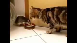Best Funny Videos 2013  Rat And Cat Share Same Plate must watch)   YouTube