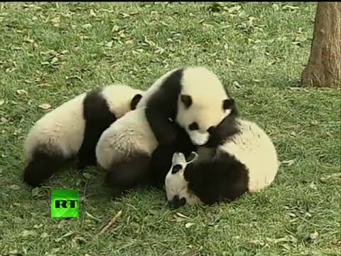 Cute video: Panda playground custom-built in China