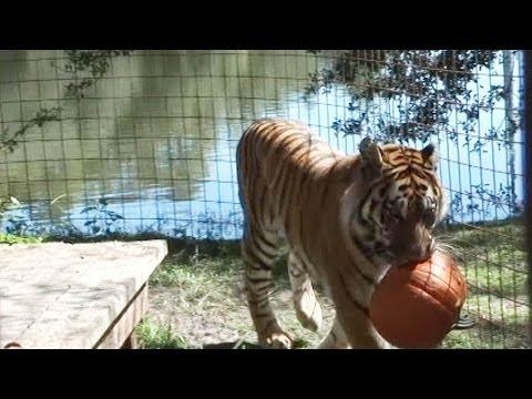 Keisha tiger Halloween
