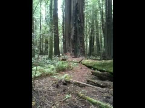 Bike Free in California - Redwood grove in Humboldt Redwood State Park