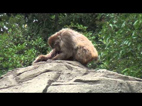 ニホンザルの猿山にて