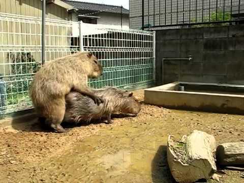 Capybara Mating