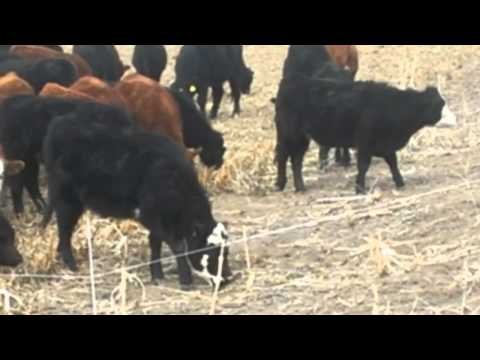 Golden Valley Farm 2012 Calf Crop