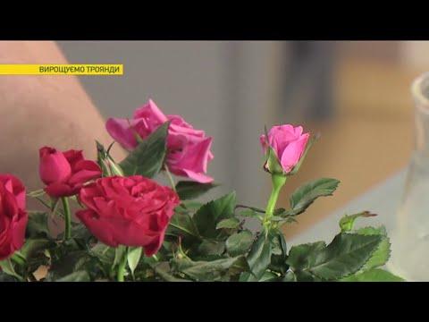 Как с засохшей розы сделать живой куст   Ранок з Україною