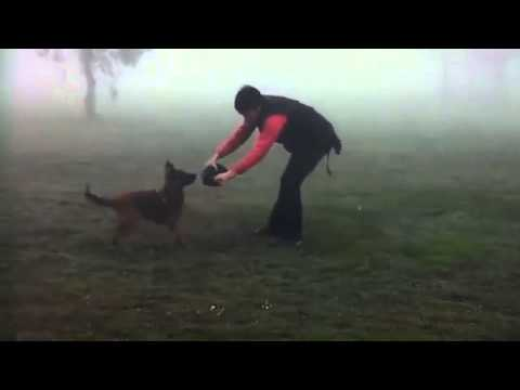 Malinois puppy training blinds