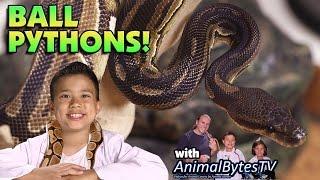 BALL PYTHONS! Pet Reptiles with EvanTubeHD & AnimalBytesTV!
