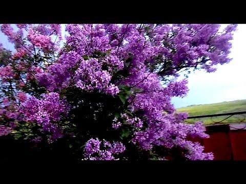 (10) Сирень цветет, огурцы в мешках...