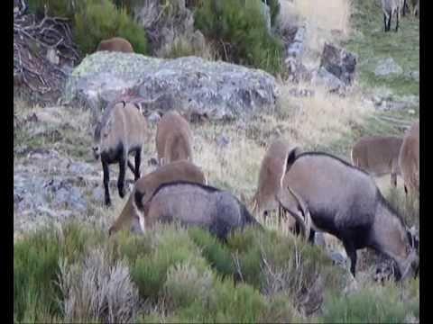 Machos monteses y cabras en celo en Batuecas Peña de Francia (Salamanca) I