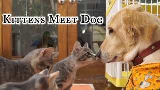 Kittens Meet Dog