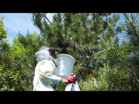 ловля роев пчел весной