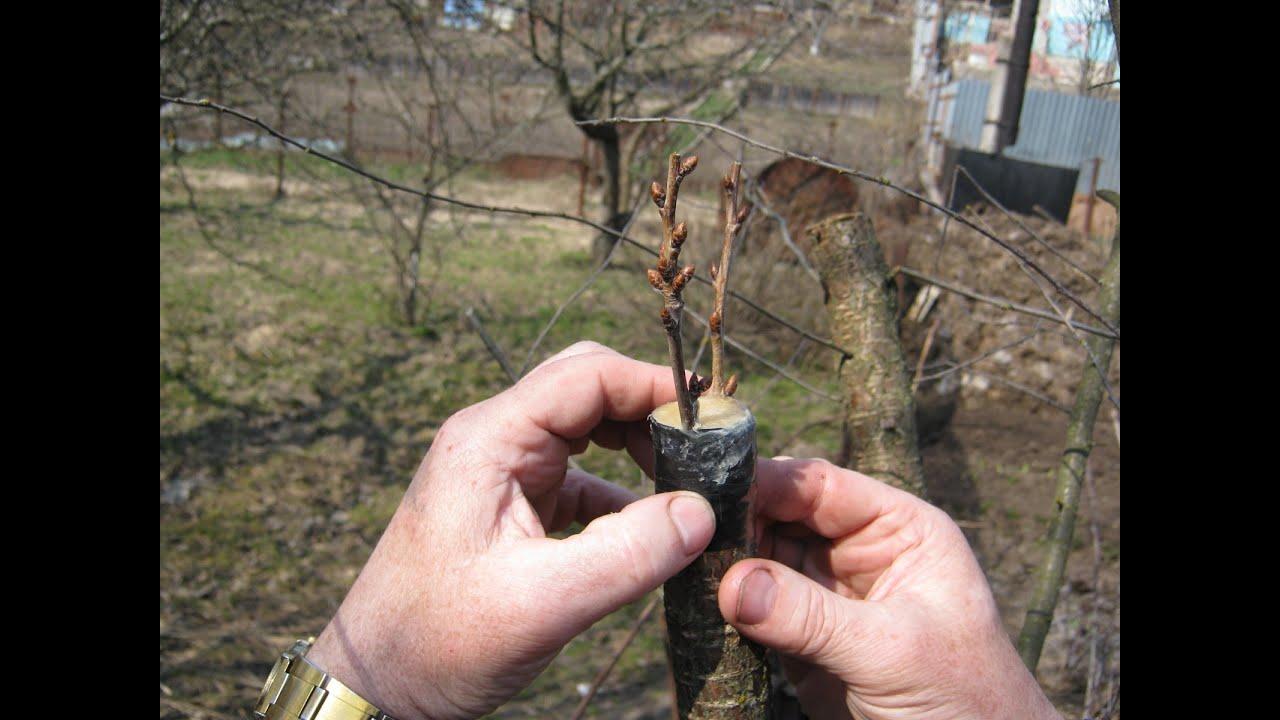 Какие деревья можно сажать черенками 5