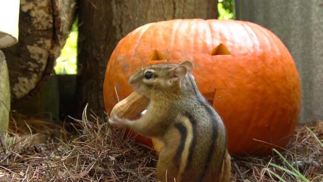 pumpkin and chipmunk