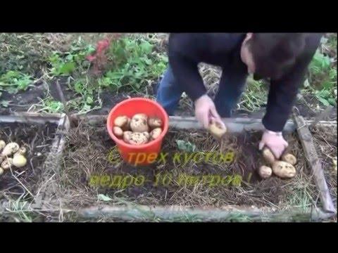 Органический картофель - жесть результат...