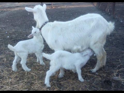 Выращивание козлят. Под козой или выпаивание?