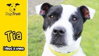 Tia's Tail Never Stops Wagging! Staffy Bull Terrier Looking for a Home | Dogs Trust Manchester