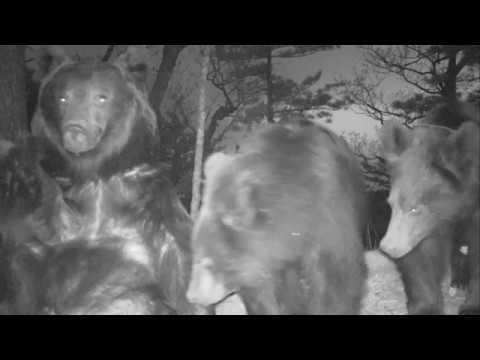 Грудное вскармливание медвежат впервые запечатлено на «Земле леопарда»