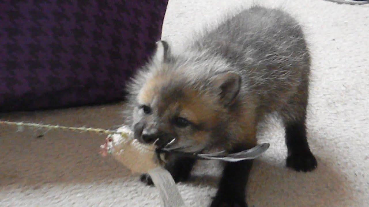 BABY FOX!! - YouTube