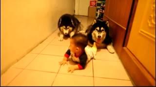 赤ちゃんのハイハイを真似して追いかける二匹のハスキー犬