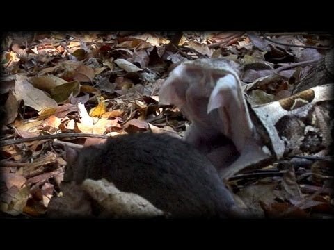 Gaboon Viper attacks Rat 02 - Time Lapse