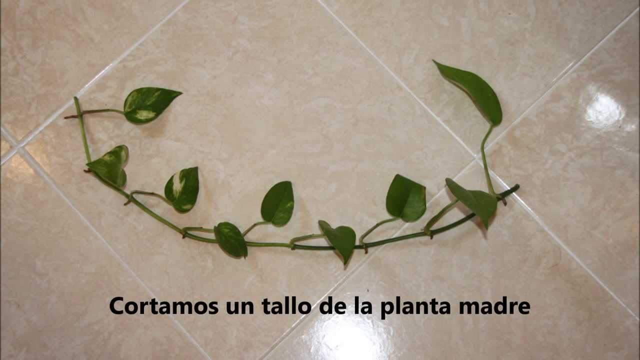 Reproducci n del pothos por esqueje youtube for Planta ornamental que se reproduzca por esquejes