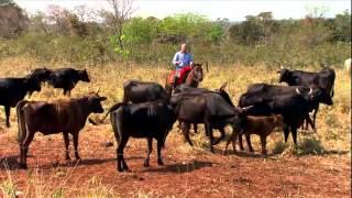 Gado Wagyu, a carne mais cara e saborosa do mundo - Globo Rural